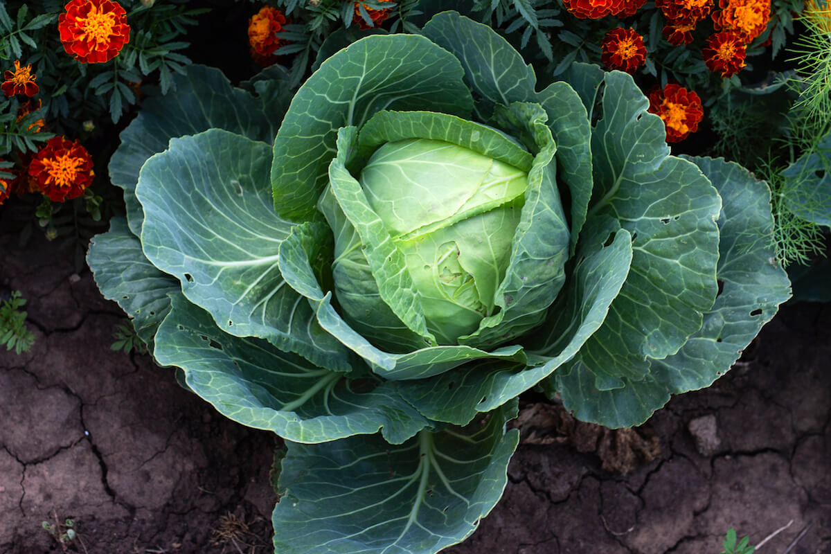 cabbage in the garden with flowers