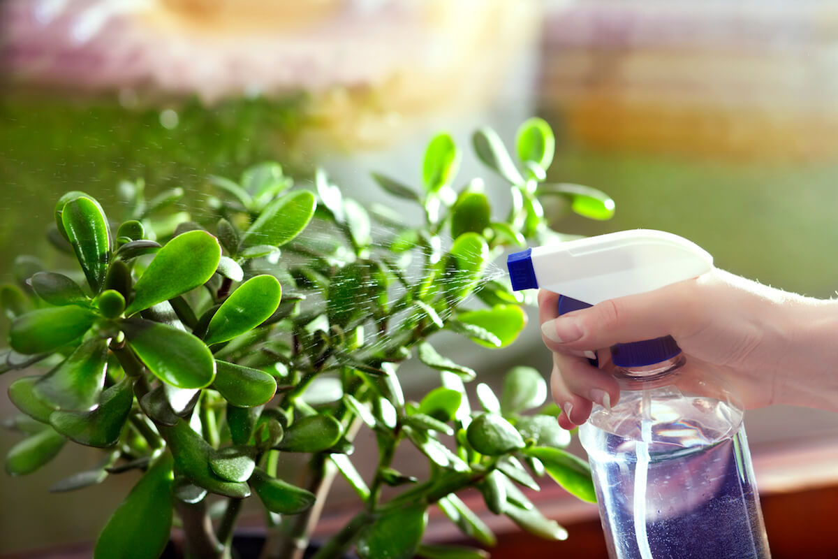 Watering a jade plant