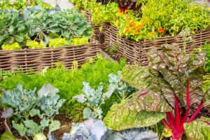Vegetable garden in the high bed