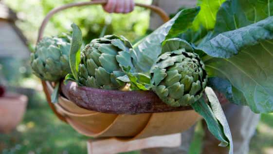 Organic home grown globe artichokes in a trug basket