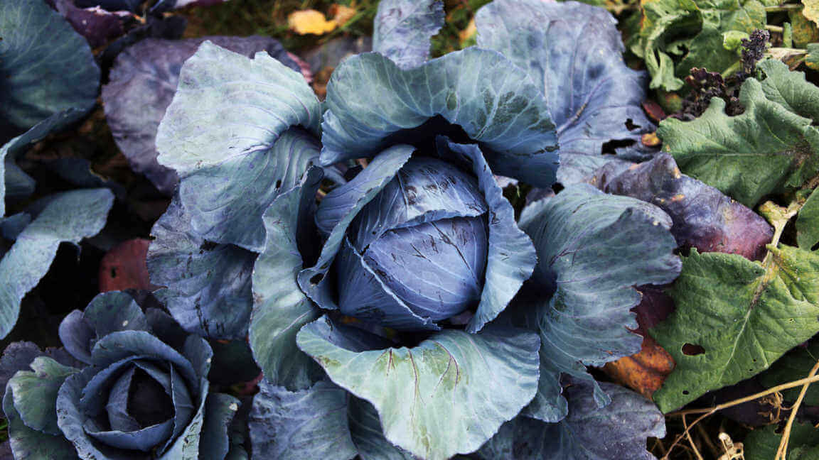 The Red Cabbage Brassica Oleracea