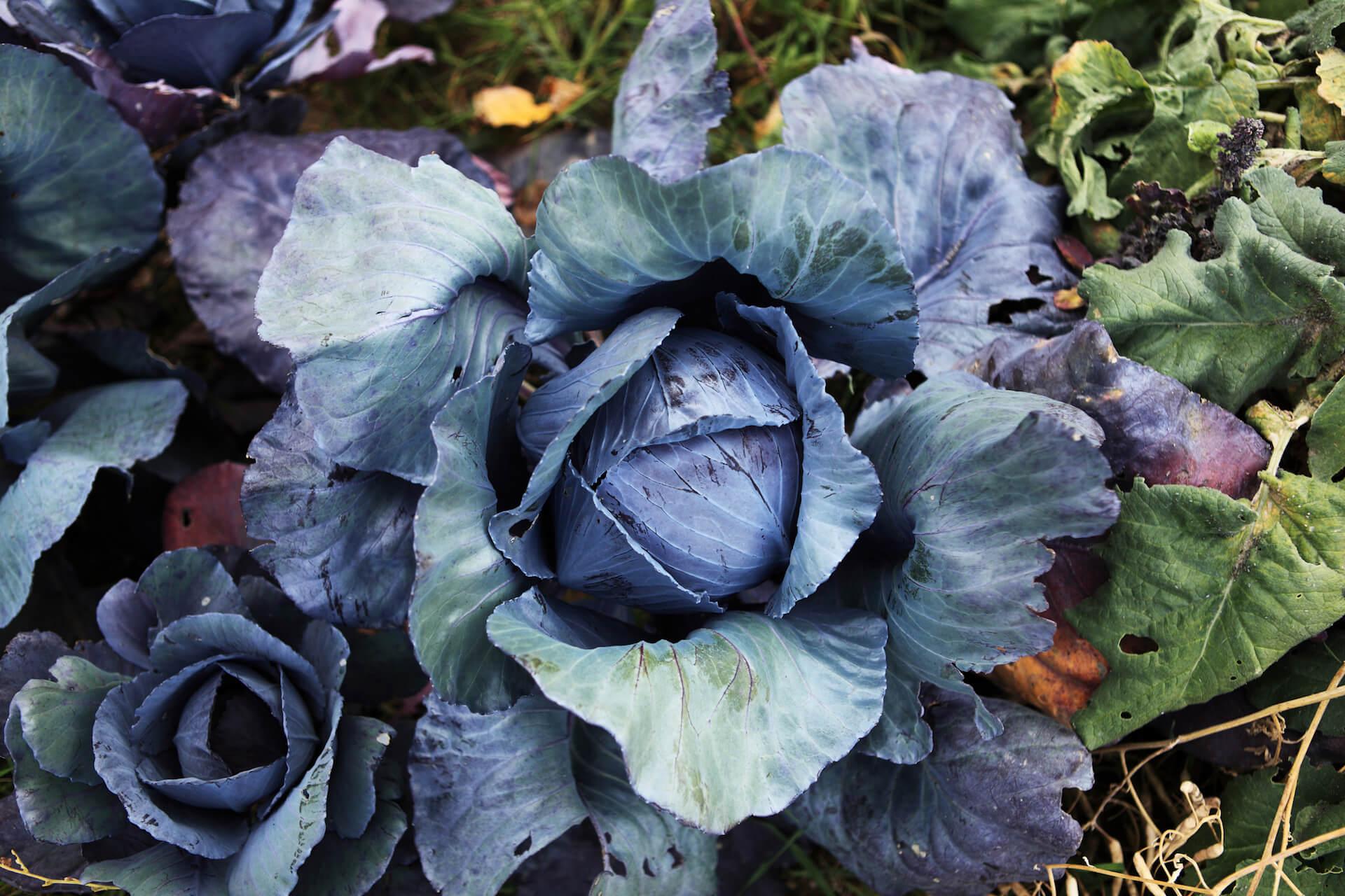 The Red Cabbage Brassica Oleracea