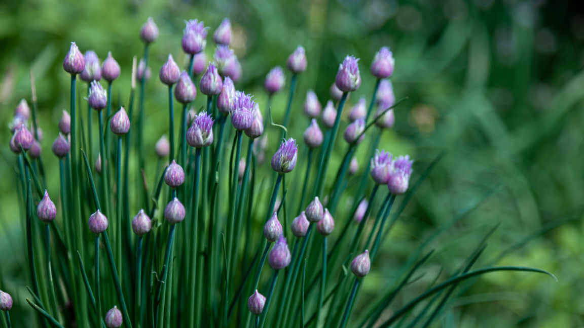 Purple chive flowers in the garden
