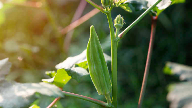 close up plant of Okra