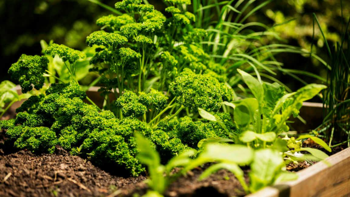 Parsley growing in home herb raised bed garden.