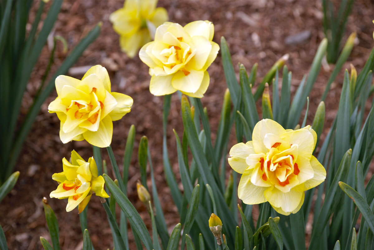 Yellow daffodils in springtime flower garden.