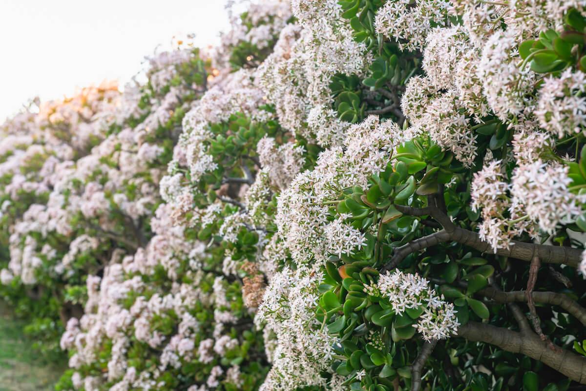 Jade plant in bloom