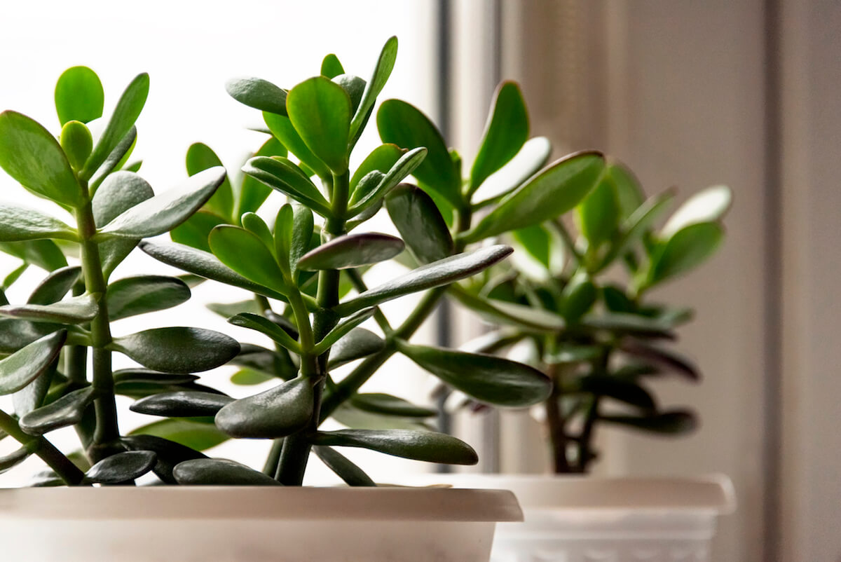 Succulent houseplant Jade Plant on the windowsill