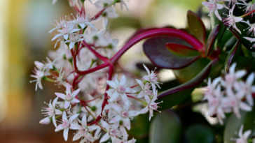 Jade Plant Flowers Close Up