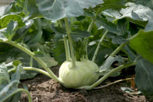 Kohlrabi cabbage growing in garden.