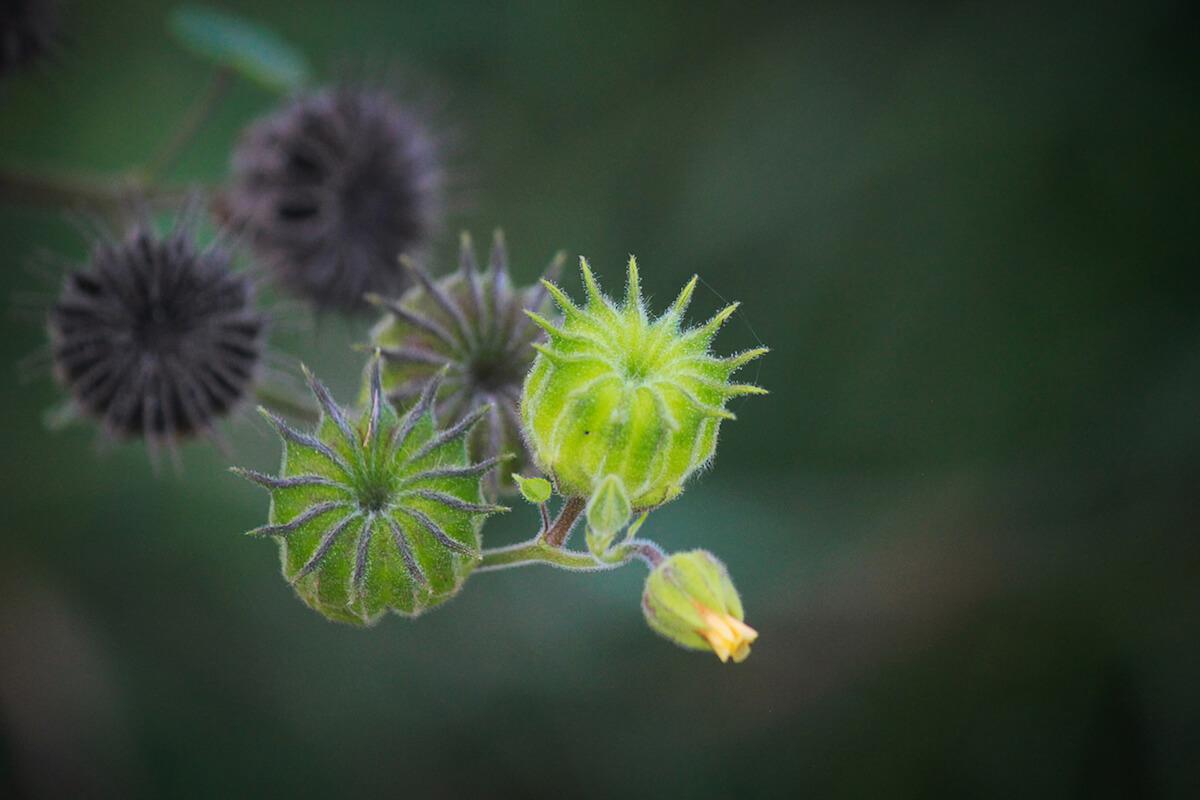 Velvetleaf (Abutilon theophrasti) Seed Pods close up