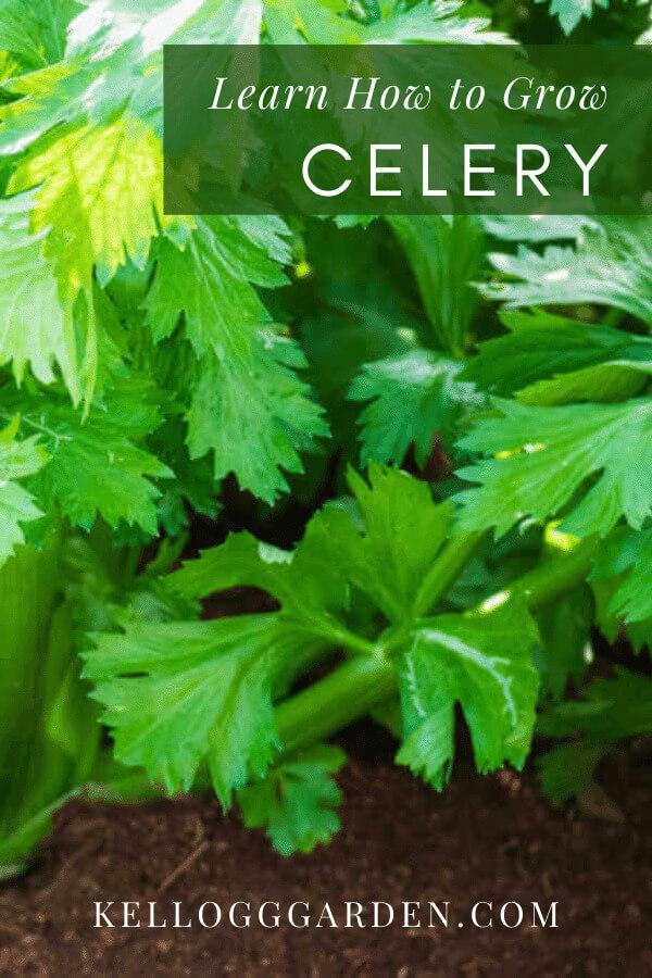 close up of celery garden