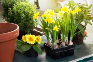 spring gardening primrose, daffodils and herbs