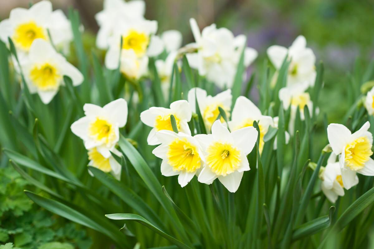 white daffodils in spring garden