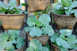 Chinese kale in basket planted at garden.