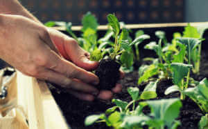 planting vegetable seedlings such as kohlrabi and radishes in a raised bed on a balcony.
