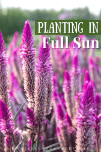 Field of purple celosias
