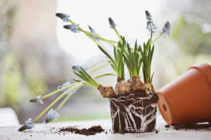 Grape hyacinth plant removed from flowerpot