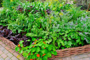 Vegetable plants in a raised bed