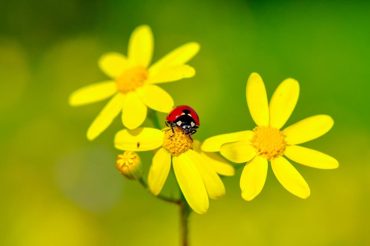 Beautiful laybug sitting on flower in a summer garden