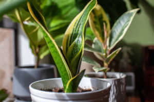 A young growing snake plant (Dracaena trifasciata, Mother-in-Law's Tongue) sits in a small white pot