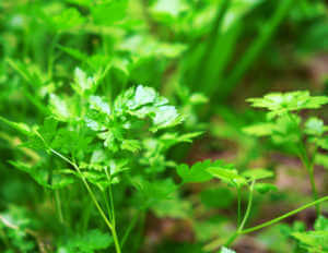 Parsley growing in a garden.
