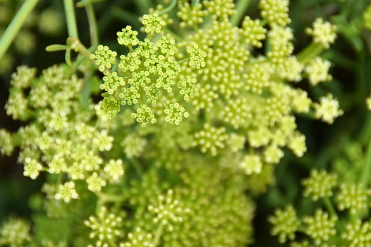 fennel plant with inflorescences