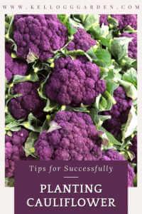 bunches of purple cauliflower