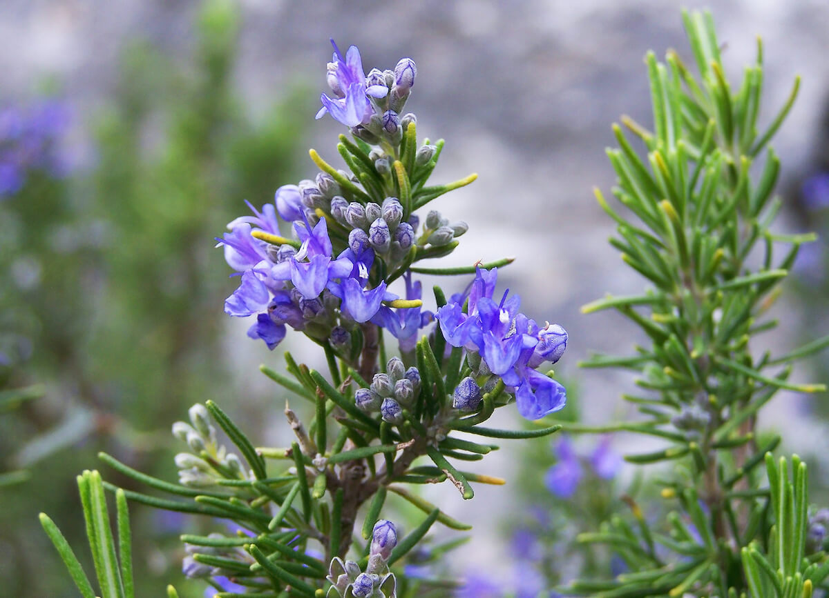 Rosemary shrub with blue flowers