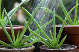 watering aloe vera pot plant