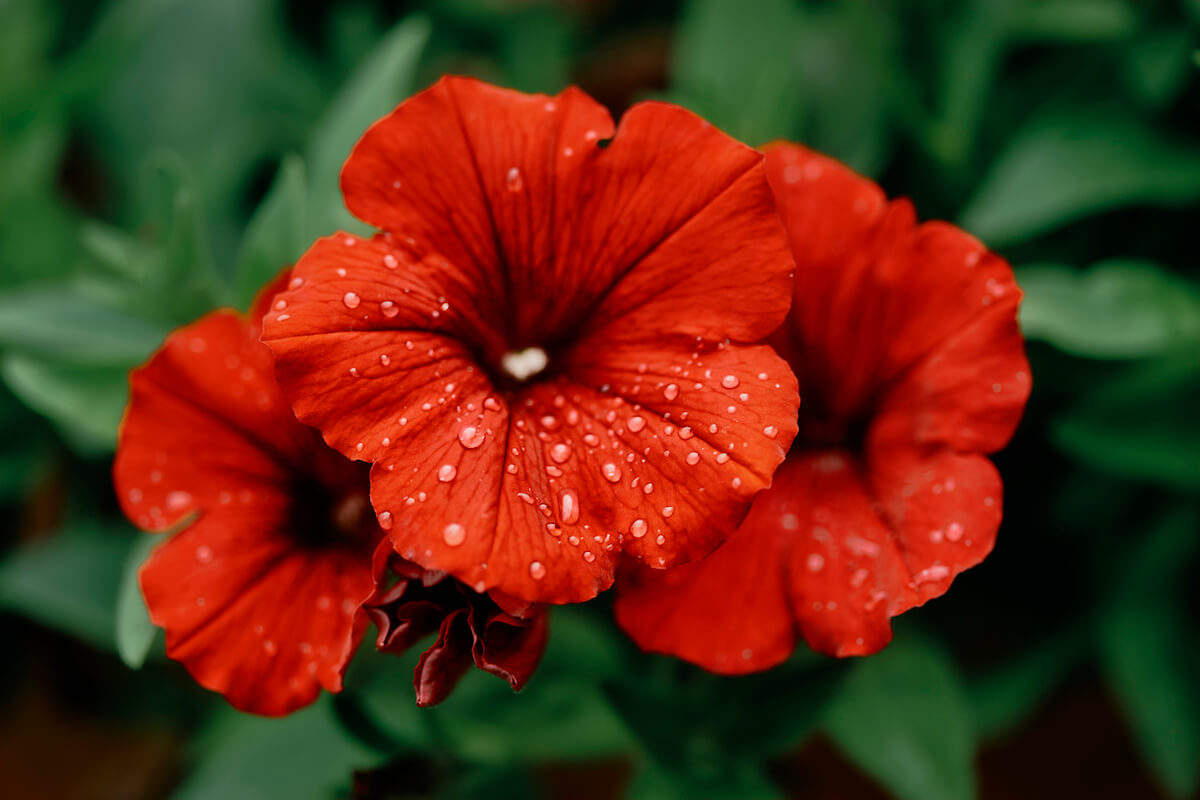 Red petunia flowers in a hanging basket.