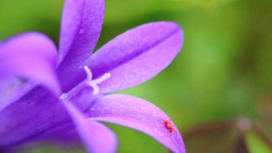 Red spider mite on Campanula flower