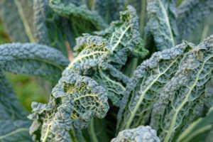 close up of organic kale.
