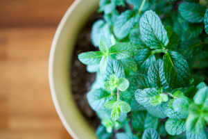 mint plant growing in a small planter.
