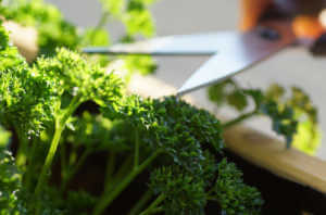 cutting homegrown parsley from a herbal raised bed on a balcony.