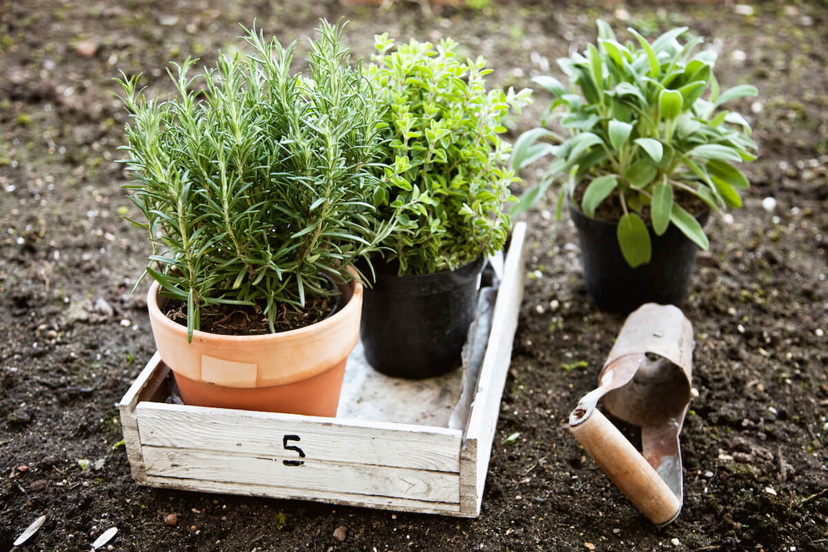 herbs in garden, ready to be planted.