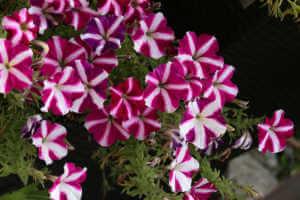 Beautiful bright petunia in the garden near the house.