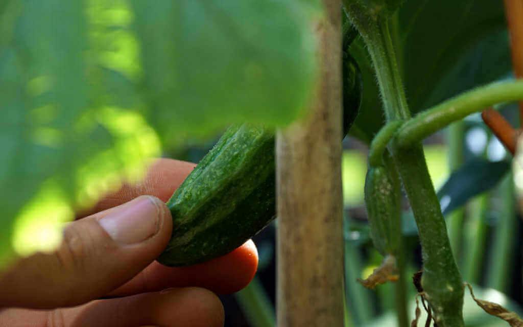 hand holding cucumber