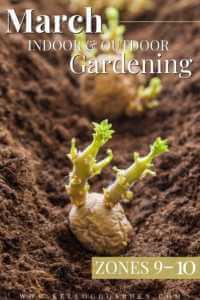 Ginger growing in soil