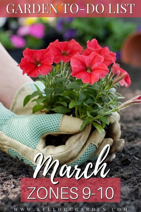 hands planting magenta flowers