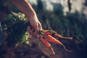 Farmer holding fresh organic carrots