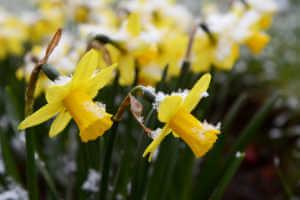 Light springtime snow on yellow daffodils