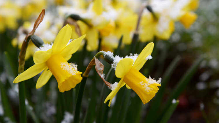 Light springtime snow on yellow daffodils