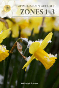 close up of yellow flowers with snow