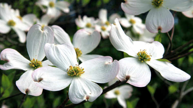 Dogwood blossoms in spring, white pedals with a little pink on the ends.
