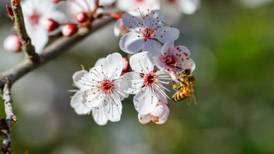 Flowers of a wild plum tree in early spring, a bee foraging for a flower.