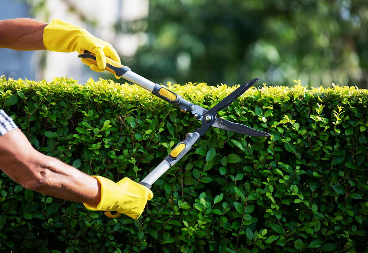Gardener Trimming Hedge In Garden