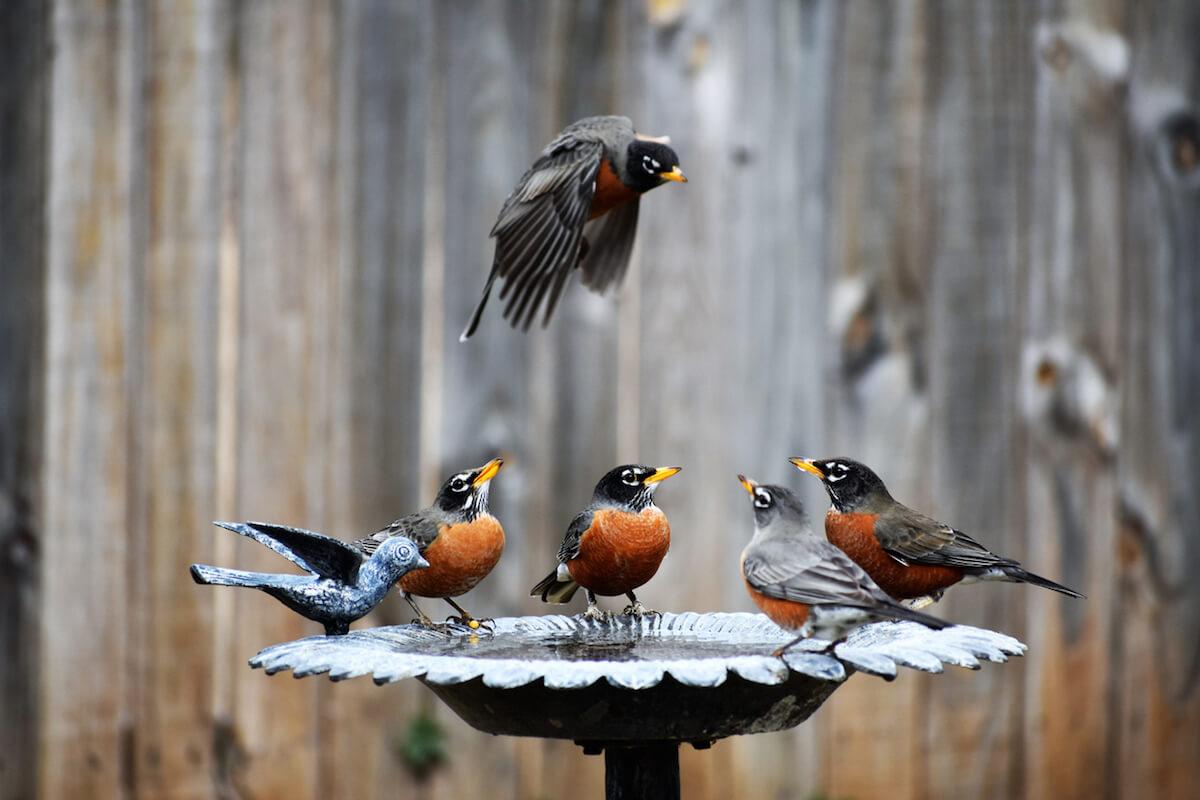 Four Robins in the Birdbath and One in Flight