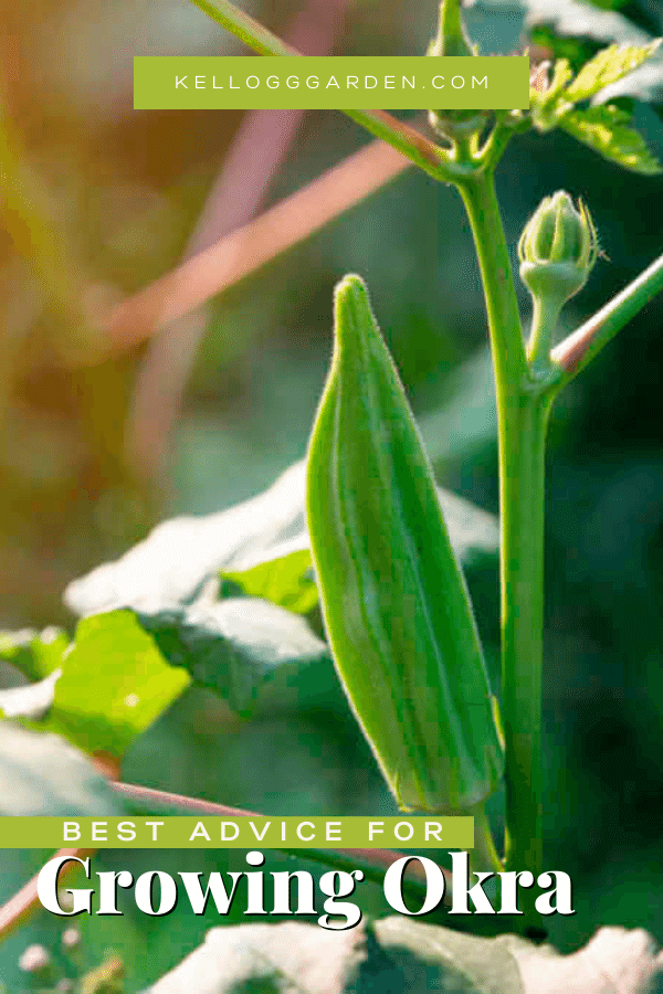 okra plant in garden