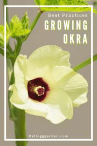 Close up of okra flower